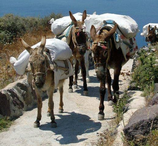 working mules in Firostefani on Santorini